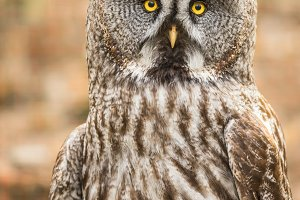 Great Grey Owl with dead mice