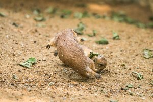 Two adult prairie dogs fighting
