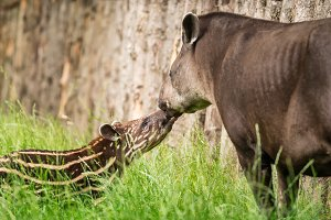 Baby of the endangered South American tapir with its mother