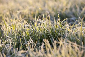 frost on the wheat