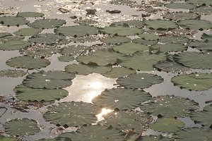 Lotus leaves and lotus flowers