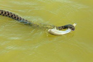 the snake eats fish