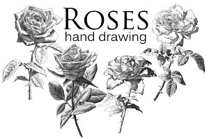 Realistic roses. Hand drawing.