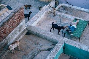 Indian Grandpa Petting His Goat