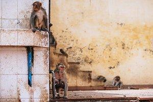 Mother Monkey Feeding Her Babies