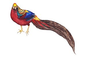 Watercolor animal bird pheasant art