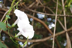 White Flowers on Vine