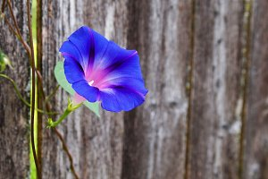 Purple Flower on Fence with Pollen