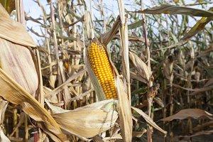 field of ripe corn