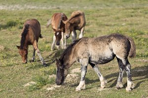 Horses grazing in summer in Navarra.