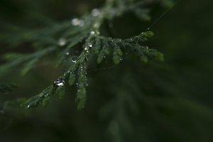Thuja after rain