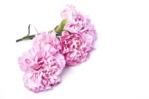 pink is carnation against the white