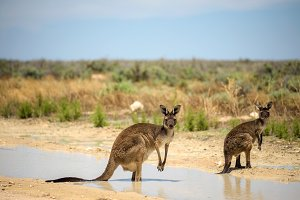 Two kangaroos cool down in Mungo National Park