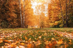 Beautiful autumn park. Foliage on the green grass. Autumn day in the forest.