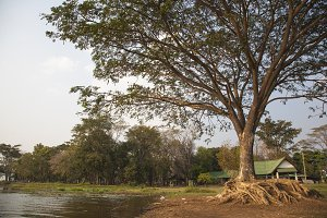 Large trees near water sources