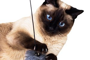Thai cat - traditional or ancient Siamese cat on a white isolated background.