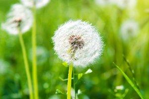 White dandelions on green lawn