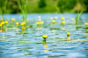 Water lily flowers on pond