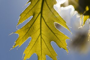 young oak foliage