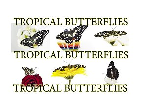 RARE TROPICAL BUTTERFLIES COLLECTION