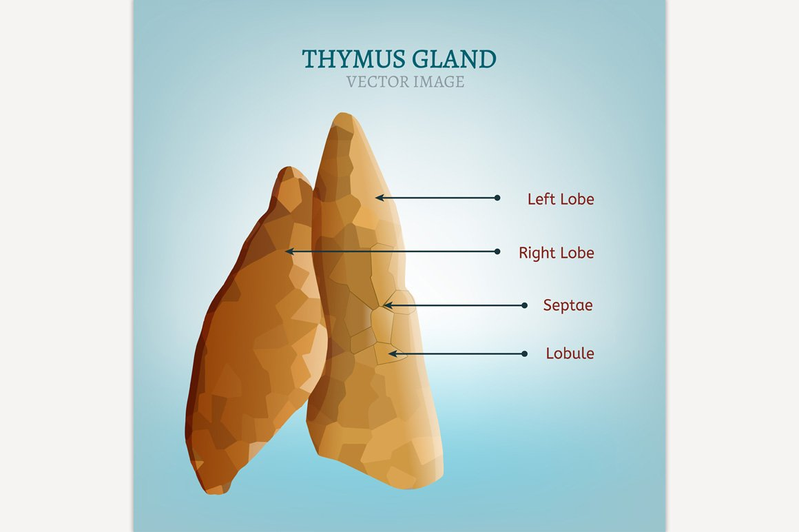 Thymus Gland Illustrations Creative Market