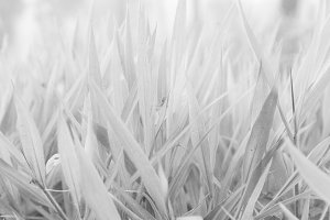 Black and white Leaves of grass