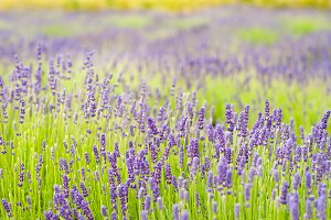 Field with lavender flowers.