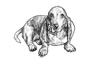 Basset hound dog