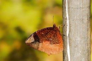 Hong Kong Butterfly - Macro