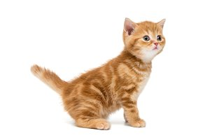 British kitten is orange in color