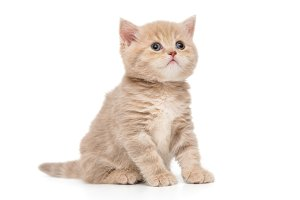 British kitten in beige color