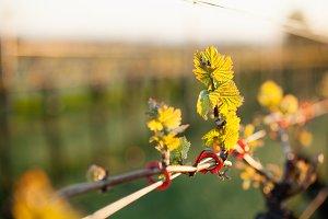 Vineyard bud