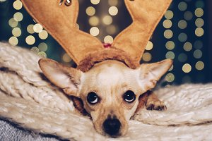 Funny Chistmas dog with antler