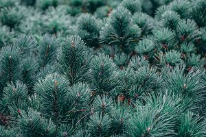 The decorative Mops pine in a garden