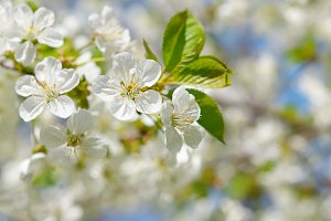 Branch of cherry flowers in spring