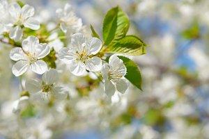 Branch of cherry flowers in spring