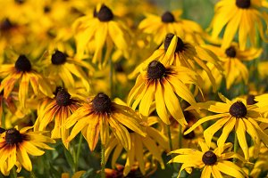 Black-eyed-susans flowers