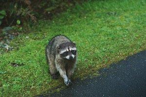 Raccoon Walking onto Path
