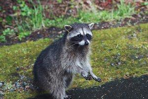 Standing Raccoon