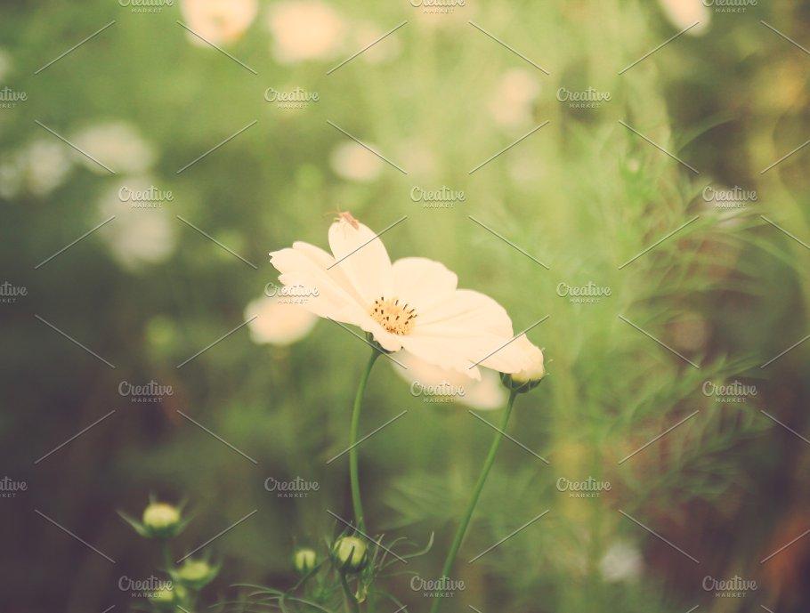 White cosmos flowers nature photos creative market white cosmos flowers nature mightylinksfo