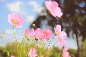 Pink cosmos flowers in vintage style