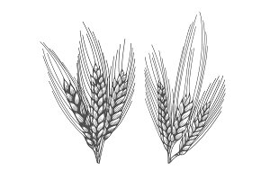 Wheat bread ears sketch