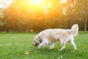 Image of labrador dog in summer park on walk