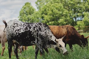 Nguni Cows Grazing