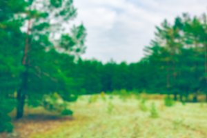 Green pine forest - blurred image