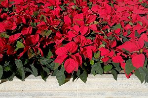 Red poinsettia in a hedge
