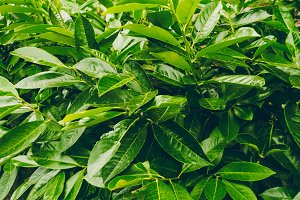 green leaves. wallpaper and texture.