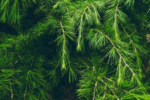 texture of green pine needles. wallpaper and background. conifer tree