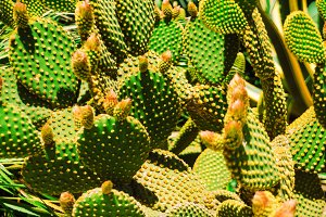 the cactus blooms. texture and background. needles for cactus