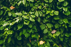 green leaves. texture of green leaves. background